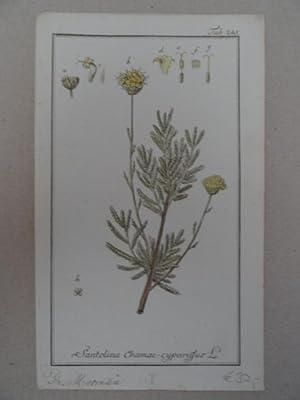 Santolina Chamae-cyparissus. Altkolorierter Kupferstich von Johannes Zorn: Botanik.-