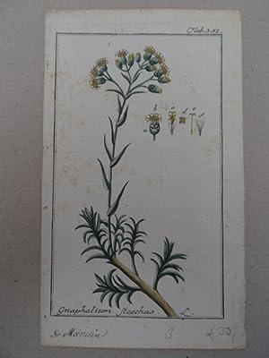 Gnaphalium stoechas. Altkolorierter Kupferstich von Johannes Zorn: Botanik.-