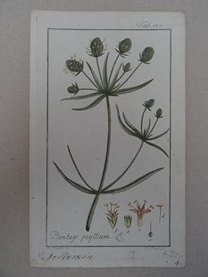 Plantago psyllium. Altkolorierter Kupferstich von Johannes Zorn: Botanik.-