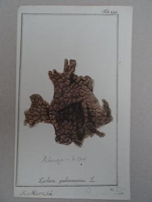 Lichen pulmonarius. Altkolorierter Kupferstich von Johannes Zorn: Botanik.-