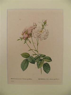 Rosa damascena Celsiana prolifera. Rosier de Cels: Rosen.-