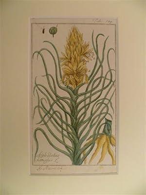 Asphodelus ramosus. (Affodill). Tab. 549. Altkolor. Kupferstich: Botanik.-