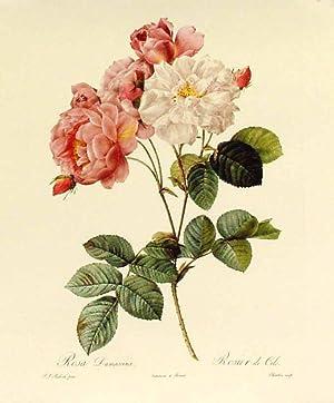 Rosa Damascena, Rosier de Cels Reproduction couleur.: Redouté. P.J.