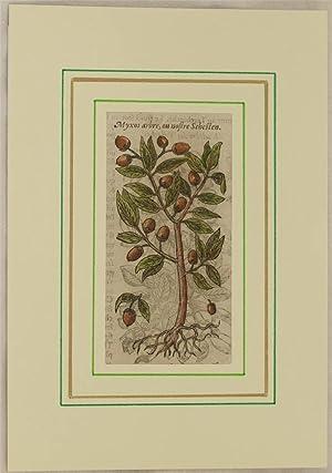 Myxos arbre, ou nostre Sebesten,: Jacques Dalechamps