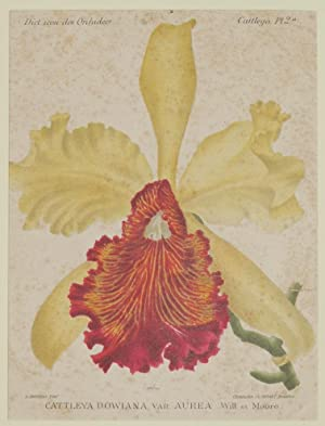 Cattleya dowiana var. aurea Will. et Moore,: Alfred Cogniaux e Alphonse Goossens