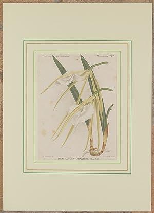 Brassavola grandiflora Ldl.,: Alfred Cogniaux e Alphonse Goossens