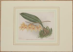 Cirrhopetalum guttulatum Hook f.,: Alfred Cogniaux e Alphonse Goossens