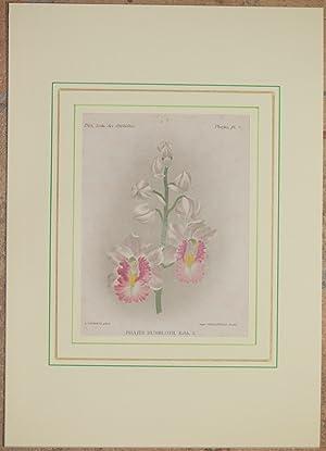 Phajus humblotii, Rchb. f.,: Alfred Cogniaux e Alphonse Goossens