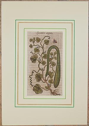 Cocombre anguin,: Jacques Dalechamps