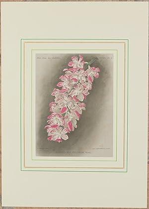 Aerides multiflorum Roxb,: Alfred Cogniaux e Alphonse Goossens