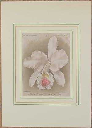 Cattleya labiata var. de M. Treyeran,: Alfred Cogniaux e Alphonse Goossens