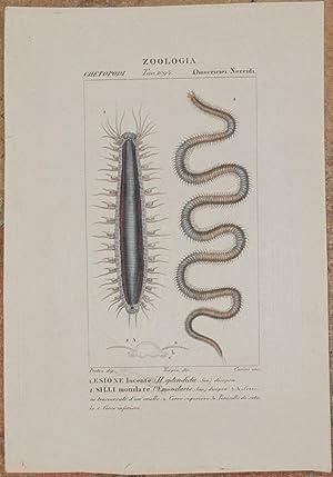 ZOOLOGIA OMOCRICICI NEREIDI Esione lucente (H. splendida): Pierre Jean Francis