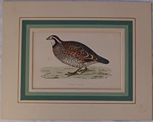 Virginian partridge (Perdix virginiana),