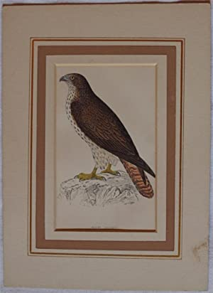 Honey Buzzard (Pernis apivorus) Falco Pennacchiolo occidentale,