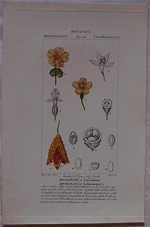 Botanica Momordica balsamina Momordica balsamina,: Pierre Jean Francis