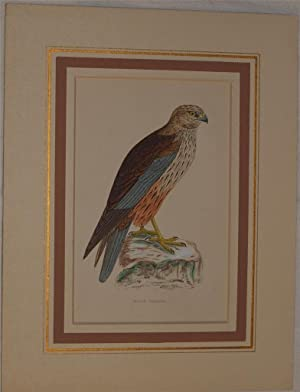 Marsh harrier (Circus aeruginosus),