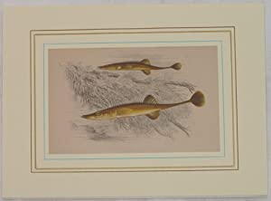 FIFTEEN-SPINED STICKLEBACK(Spinarello),