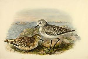 Black-bellied plover. Squatarola helvetica; Pluvialis squatarola (Linnaeus).: GOULD, John]; Richter,