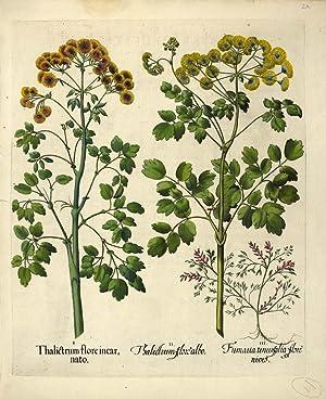 I. Thalictrum flore incarnato. II. Thalictrum flore: BESLER, Basilius.