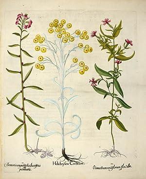 I. Helichrylon Creticum. II. Dentaria angustifolia baccifera: BESLER, Basilius].