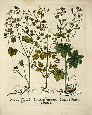 I. Geranium moscatum odoratum. II. Geranium Fuscum.: BESLER, Basilius].