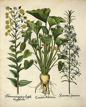 I. Cucumis Asininus. II. Hieracium fruticescens latifolium: BESLER, Basilius].