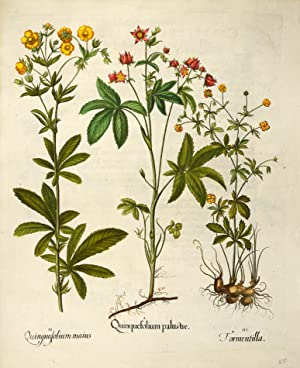 I. Quinquefolium palustre. II. Quinquefolium maius. III.: BESLER, Basilius].