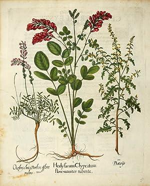 I. Hedyfarum Clypeatum flore suauiter rubente. II.: BESLER, Basilius].