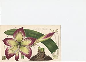 Amarylis Pretina [Print of]: Hart, J.T. Drawn by.