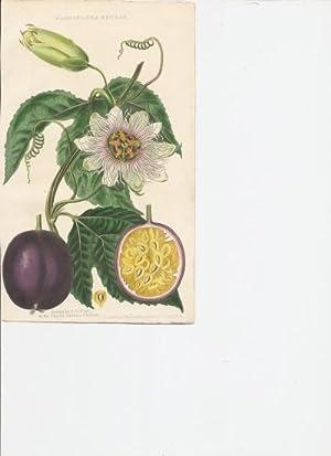 Passiflora Edulis [Print of]: Hart, J.T. Drawn by.