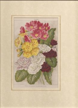 Print -Flowers]: Single and Double Polyanthuses.