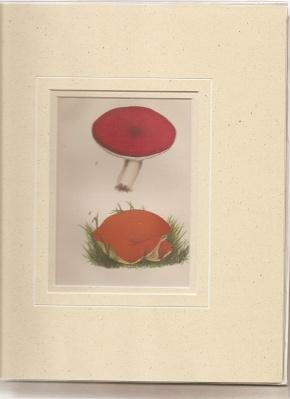 Russula Emetica. fr.: Peziza Aurantia. [Print of Mushrooms].