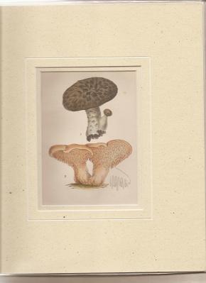 Hydnum Imbricatum. Fr. Hydnum Repandum. Fr. [Print of Mushrooms].