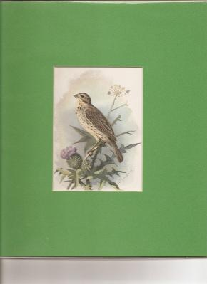 "Common Bunting"".: Thorburn, Archibald [1860 -1935]."