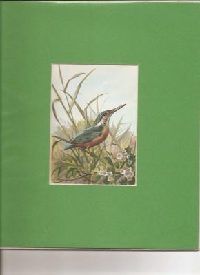 "Kingfisher"".: Thorburn, Archibald [1860 -1935]."