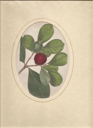 Botanical Print by Curtis.: Curtis, S.