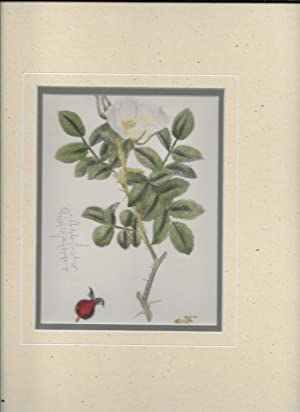 Rosa Sabini. Sabine's Rose. Original hand-coloured Print.: Sowerby, John Edward, 1825-1870. ...