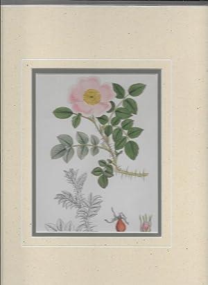 Rosa Wilsonii. Wilson's Rose. Original hand-coloured Print.: Sowerby, John Edward, 1825-1870. ...
