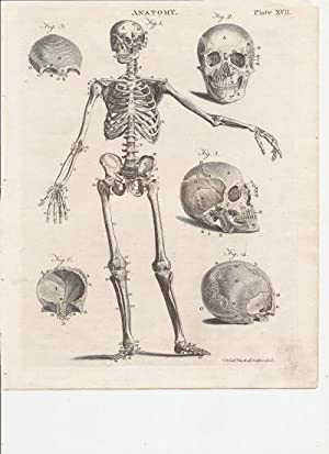Print of ]The human skeleton. Frontal View.