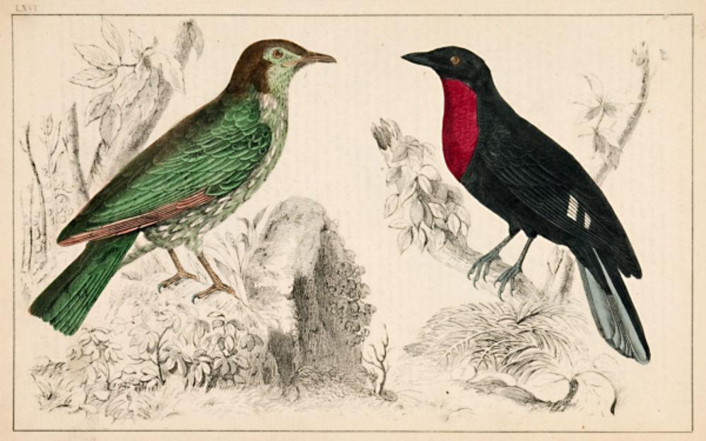 Birds (inc. Red-Breasted Blackbird). Unknown. [ ] (bi_18947275601) photo