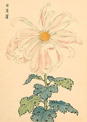 Chrysanthemum: Keika Hasegawa (active