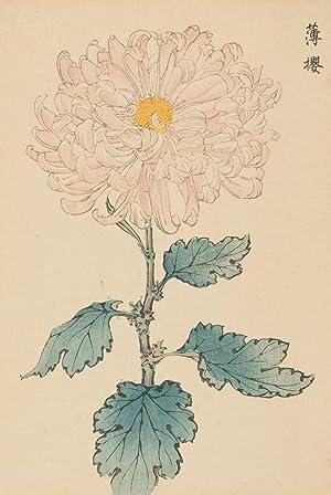 Chrysanthemum.: Keika Hasegawa (active