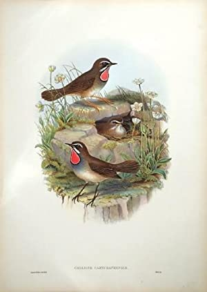 Siberian Ruby-throat: Hart after Gould