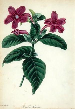 Ruellia lilacina: S Holden