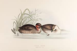 Little Grebe, or Dabchick: John and Elizabeth