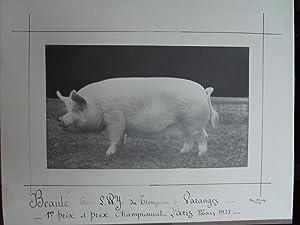 """Beauté"""". Truie Large White Yorkshire du troupeau de Varanges (S. et Loire), 1er prix et..."""