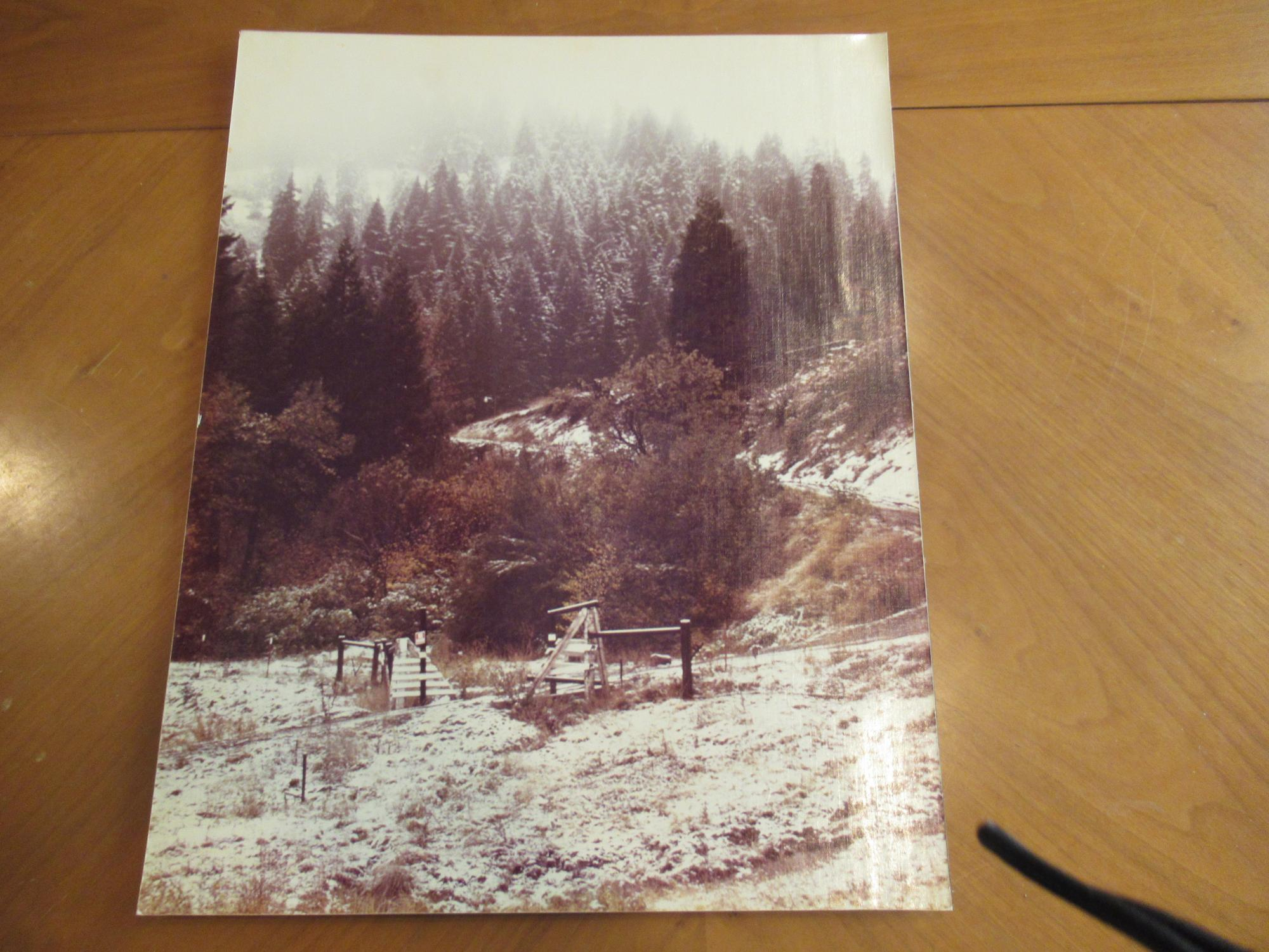 Large Original Photograph Of Cattle Crossing Guard In Mountain Forest Sharon Lumbard