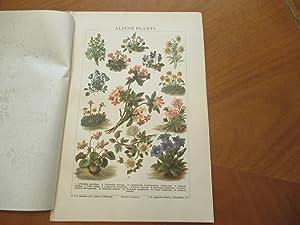 Alpine Plants (Original Chromolithograph From Chambers Encyclopedia)