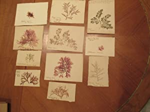 Group Of 11 Delicate Ferns Mounted On Paper, Collected In Great Britain Circa 1923-1932
