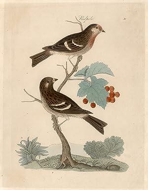 redpole - ( redpoll - birkenzeisig ) - zwei vögel auf